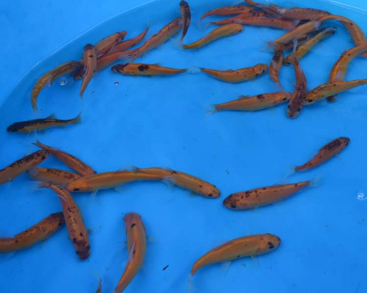 Buy online golden tench the carp co for Koi fish farm near me