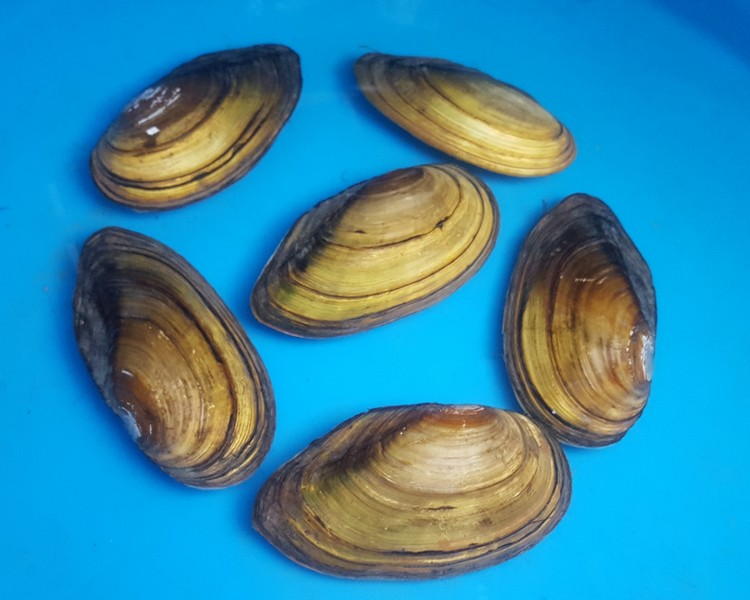 "6-8"" Native Swan Mussels"