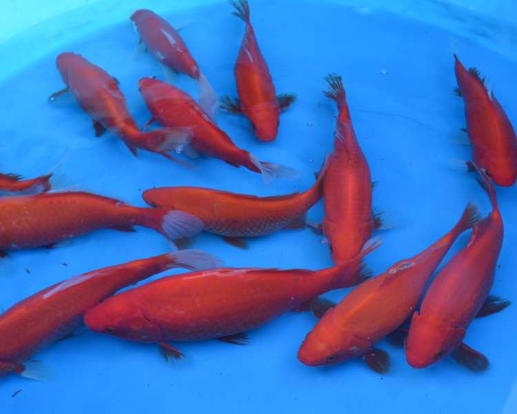 Buy goldfish online cheap for Live pond fish for sale