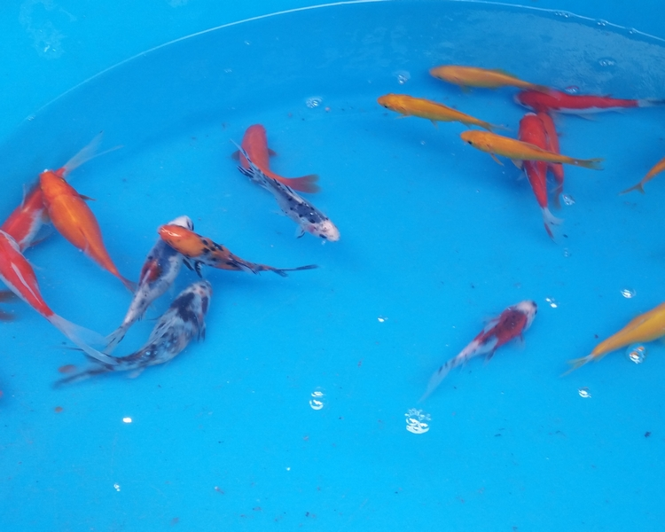 Small Goldfish Variety Pond Selection Pack