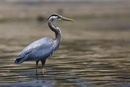 Heron deterrents