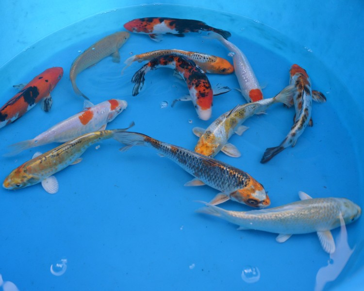Buy 7 8 koi carp sanke kohaku chagoi the carp co for Keeping koi carp