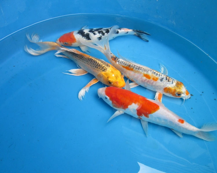 for Large koi pool