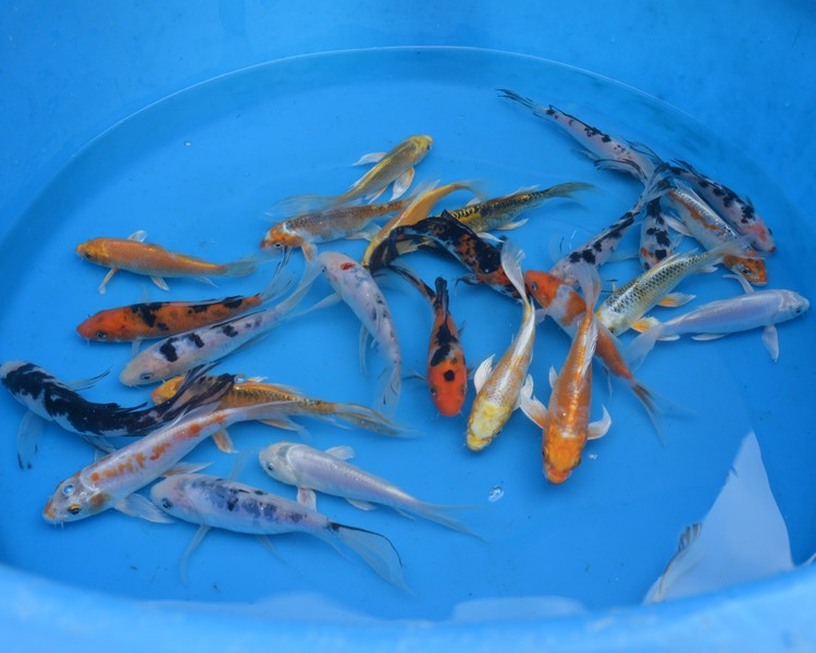 Buy Butterfly Longfin Koi English Bred Delivered To Your