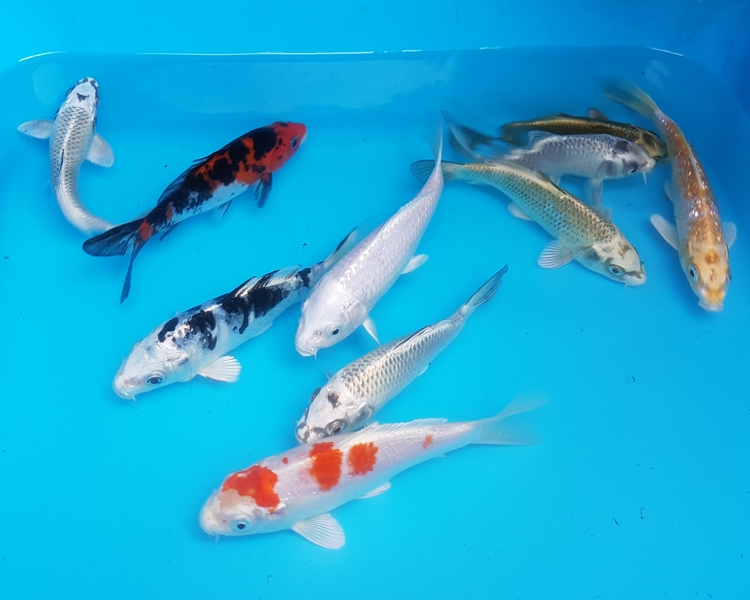 Koi carp and ghost koi selection pack the carp co for Keeping koi carp