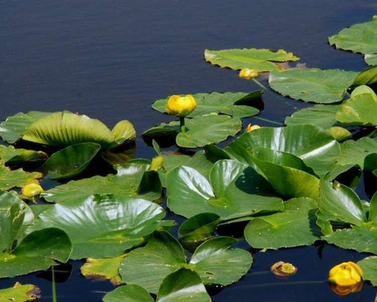 Nuphar luteum brandy bottle deep water ornamental for Ornamental pond plants