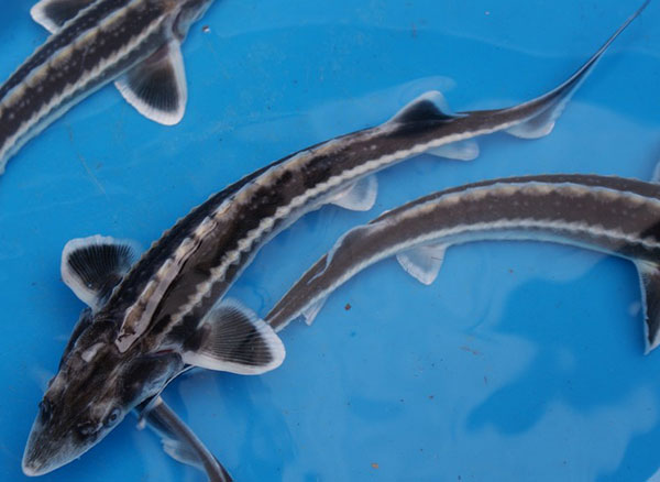 Buy fish online | koi carp & pond fish for sale | UK Breeder