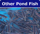 other pond fish