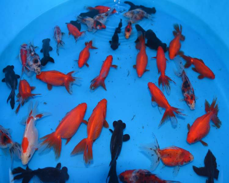 "3-4"" (7-10cm) Fancy Goldfish Mix"